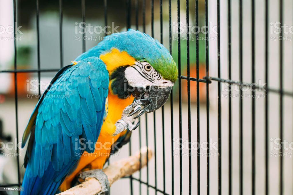 Blue-and-yellow Macaw Also Known As The Blue-and-gold Macaw. Wild Bird In Cage stock photo