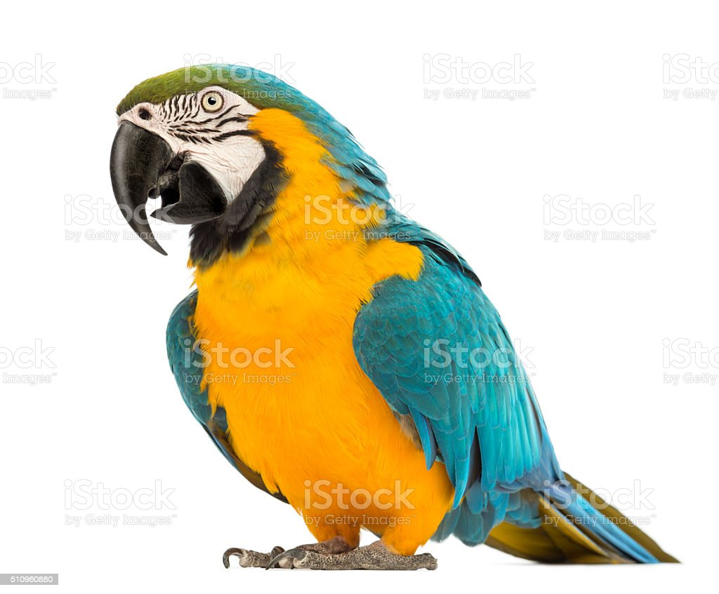 Blue-and-yellow Macaw, Ara ararauna, 30 years old, stock photo