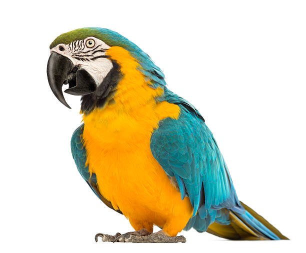 Blue-and-yellow Macaw, Ara ararauna, 30 years old, Blue-and-yellow Macaw, Ara ararauna, 30 years old, in front of white background parrot stock pictures, royalty-free photos & images