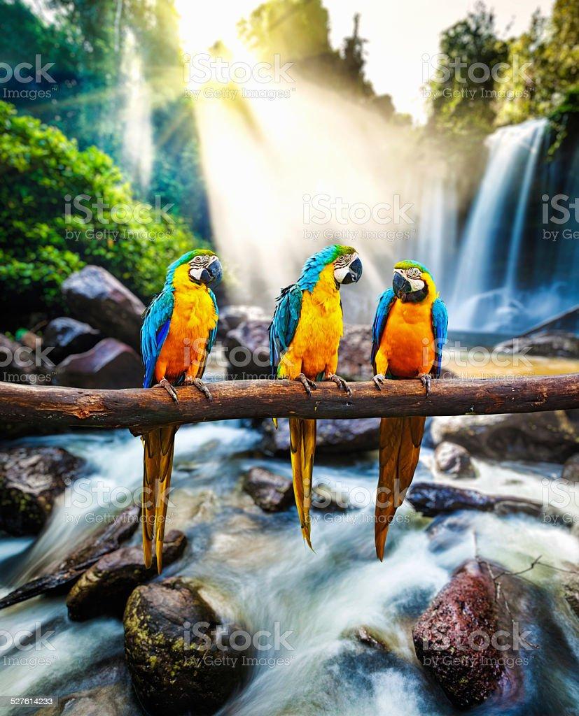 Bleu et jaune ararauna Ara macao - Photo