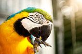 Blue-and-yellow macaw - Arara-canindé
