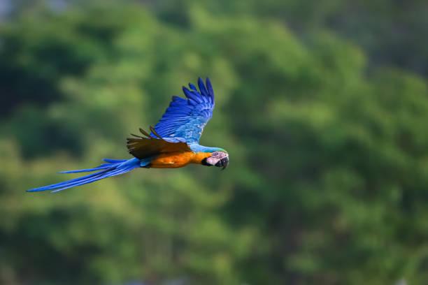 Blau-gelber Ara auf dem Flug nach rechts vor defokussiertem Waldhintergrund, San Jose do Rio Claro, Mato Grosso, Brasilien – Foto