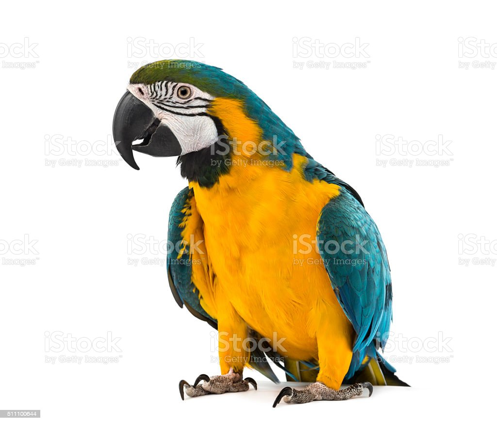 Blue-and-yellow Macaw in front of a white background stock photo