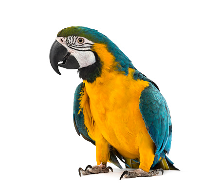 Blueandyellow Macaw In Front Of A White Background Stock Photo - Download Image Now