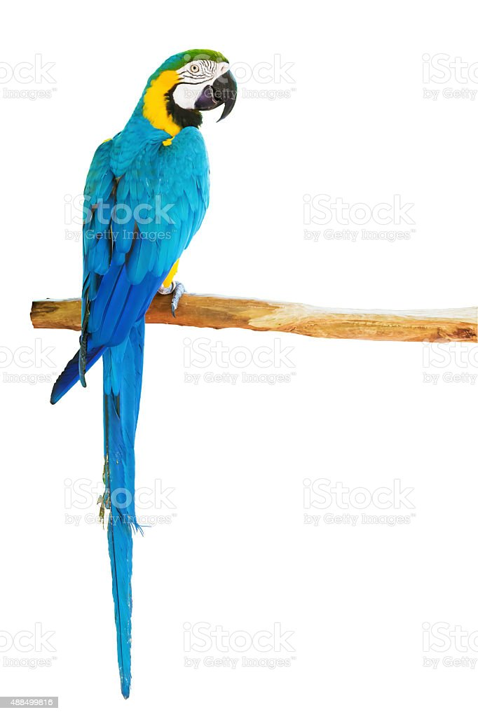 Blue-and-yellow macaw on white background royalty-free stock photo