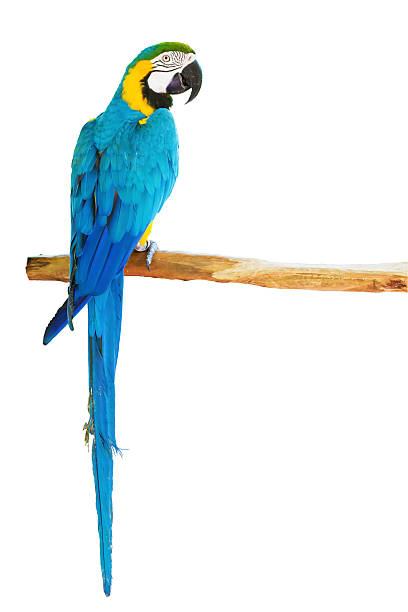 Blue-and-yellow macaw on white background stock photo