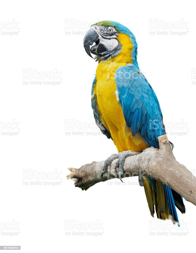 Blue-and-yellow macaw (Ara ararauna) perched on the branch, isolated stock photo
