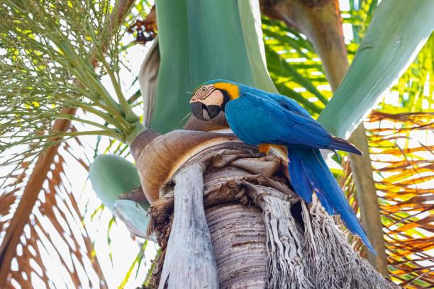 Blau-gelber Ara, der an einem Palmenstamm thront, Seitenansicht, natürlicher Hintergrund, San Jose do Rio Claro, Mato Grosso, Brasilien – Foto