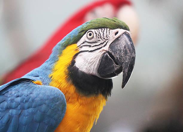 azul e amarelo arara - arara vermelha retrato - fotografias e filmes do acervo