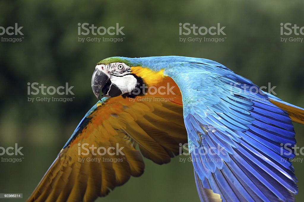 Blue-and-yellow Macaw royalty-free stock photo