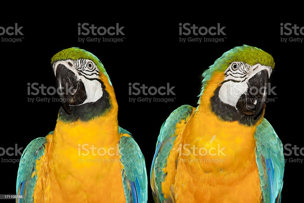 Blue-and-yellow Macaw sitting in tropical rainforest royalty-free stock photo