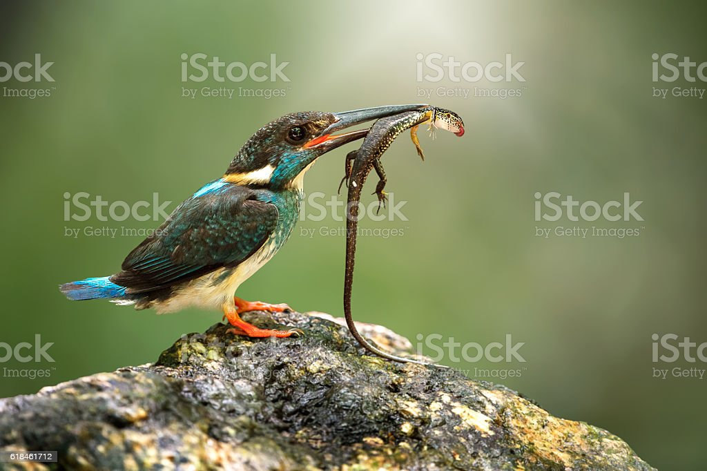 Blue-banded kingfisher male with lizard for feeding baby natural...
