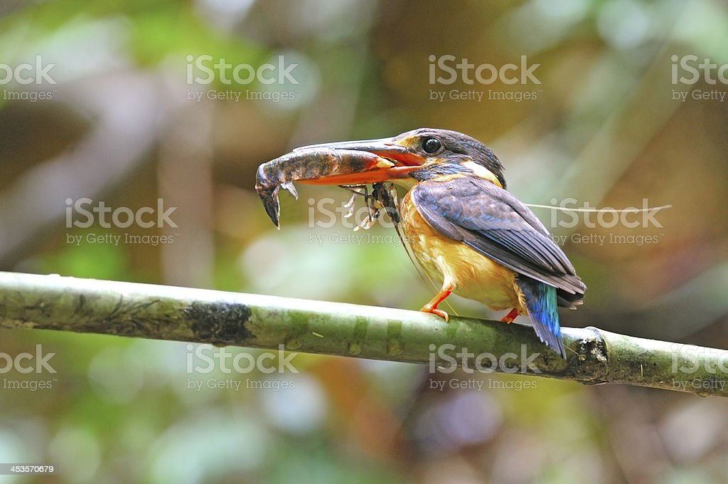 Blue-banded Kingfisher Little blue kingfisher, female Blue-banded Kingfisher (Alcedo euryzona), feeding his chicks with shrimp in mouth Animals Hunting Stock Photo