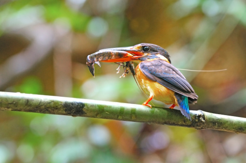 Bluebanded Kingfisher Stock Photo - Download Image Now