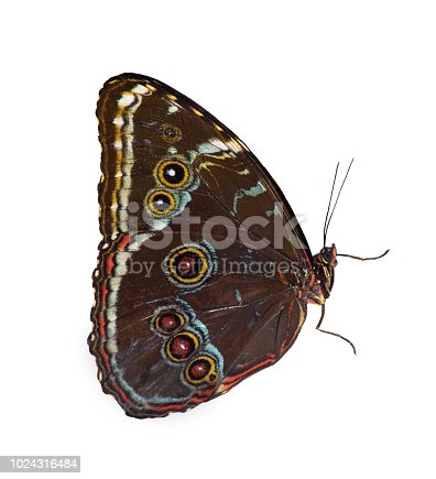Blue-banded morpho butterfly, Morpho achilles, is isolated on white background with closed wings. Brown underside of the wings with multiple eyespots painted in white and red is seen.