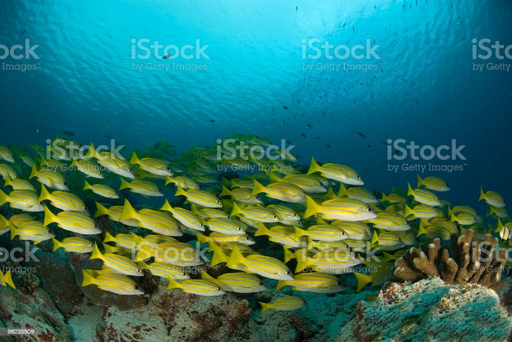 blue-banded snappers royalty-free stock photo
