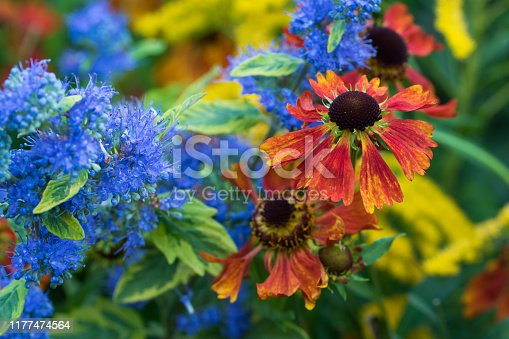 Bluebeard and helenium flowers,Eifel,Germany. Please see more similar pictures of my Portfolio. Thank you!