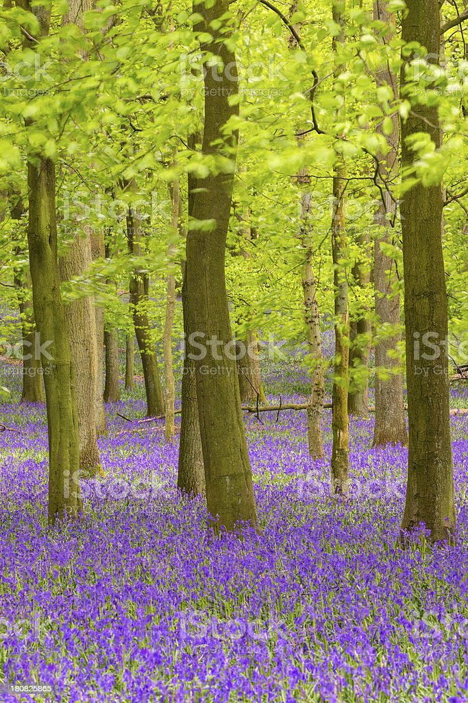 Bluebell and Beech Tree Forest royalty-free stock photo