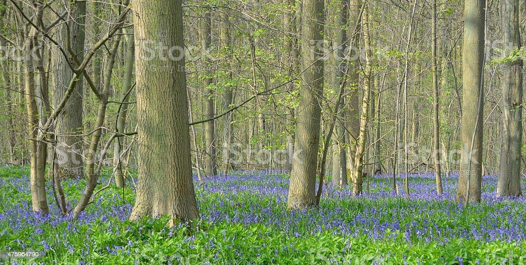 Bluebell carpet on woodland floor stock photo