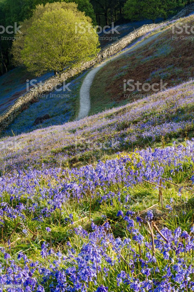 Bluebell carpets at Grasmere in the Lake District. stock photo
