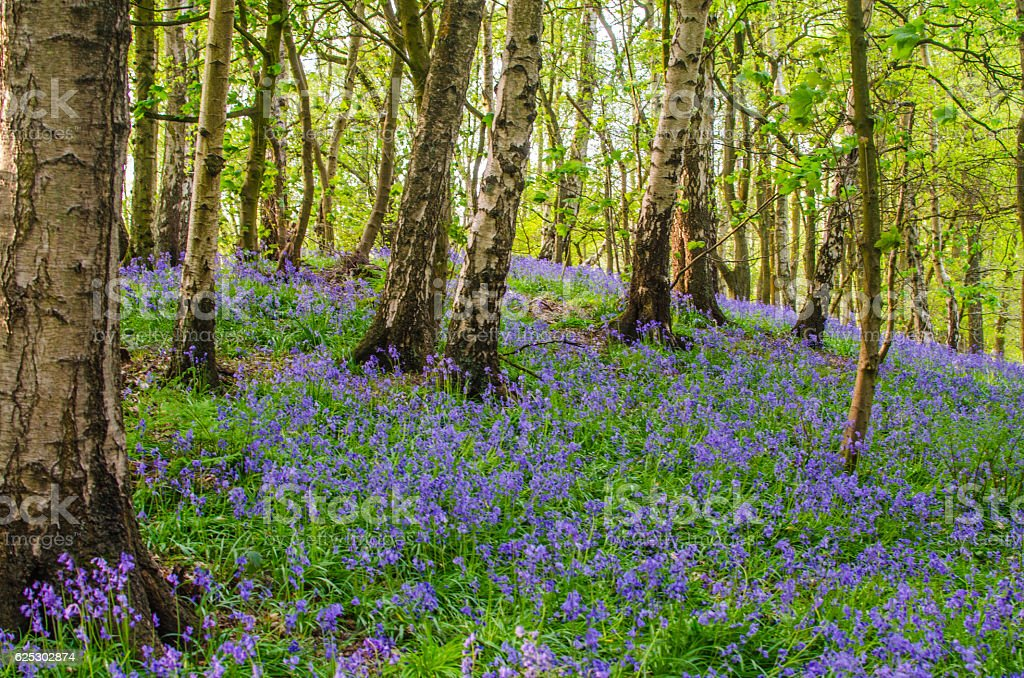 Bluebell flower wood horizontal background with copy space stock photo