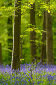 Bluebell flowers in a Beech tree forest during a springtime morning in the Hallerbos.