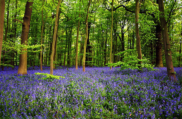 Bluebell flowers in Sherwood Foest Nottingham UK  bluebell stock pictures, royalty-free photos & images