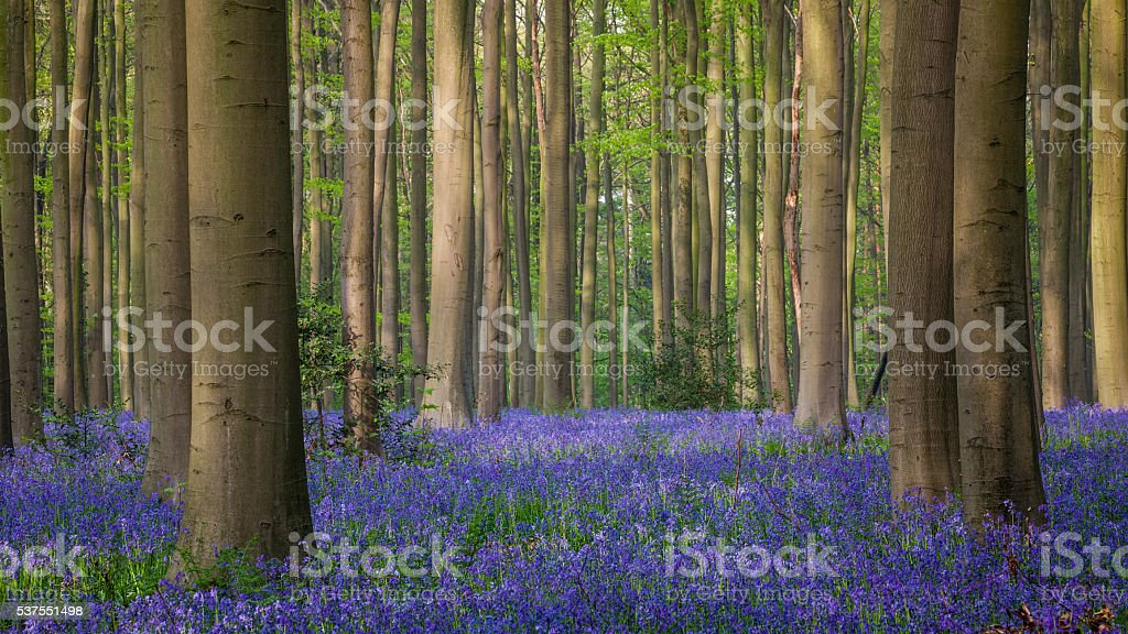 Bluebell forest of Halle, Hallerbos stock photo
