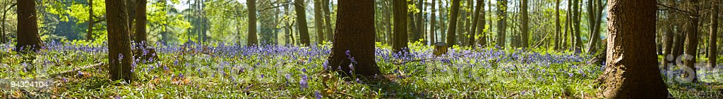 Bluebell forest panorama royalty-free stock photo