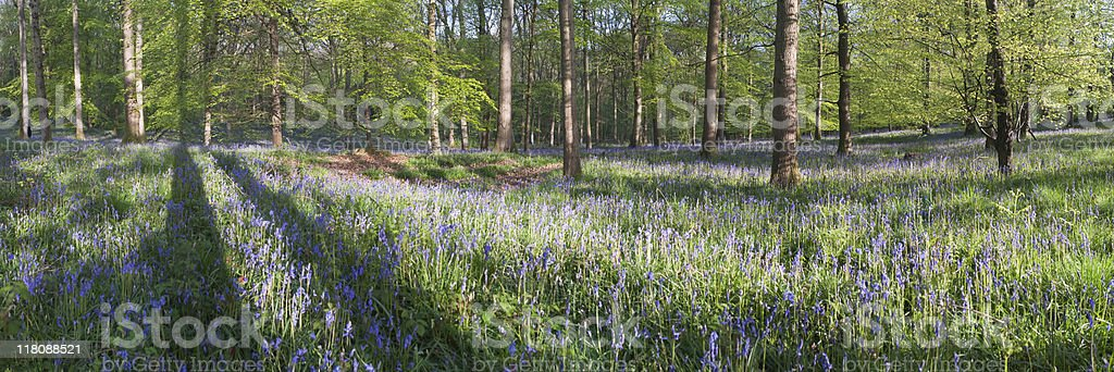 Bluebell forest. royalty-free stock photo