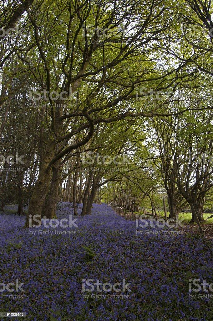 Bluebell Hillside stock photo