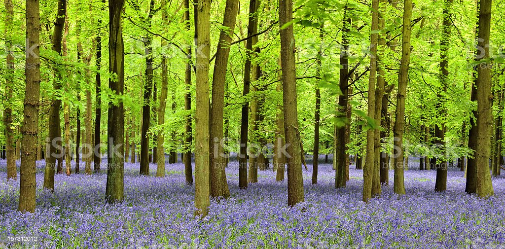 Bluebell Panoramic royalty-free stock photo