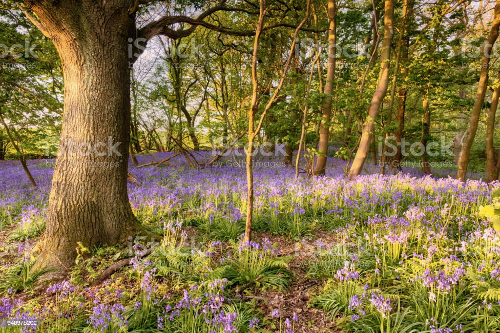 Bluebell path deep in the forest stock photo