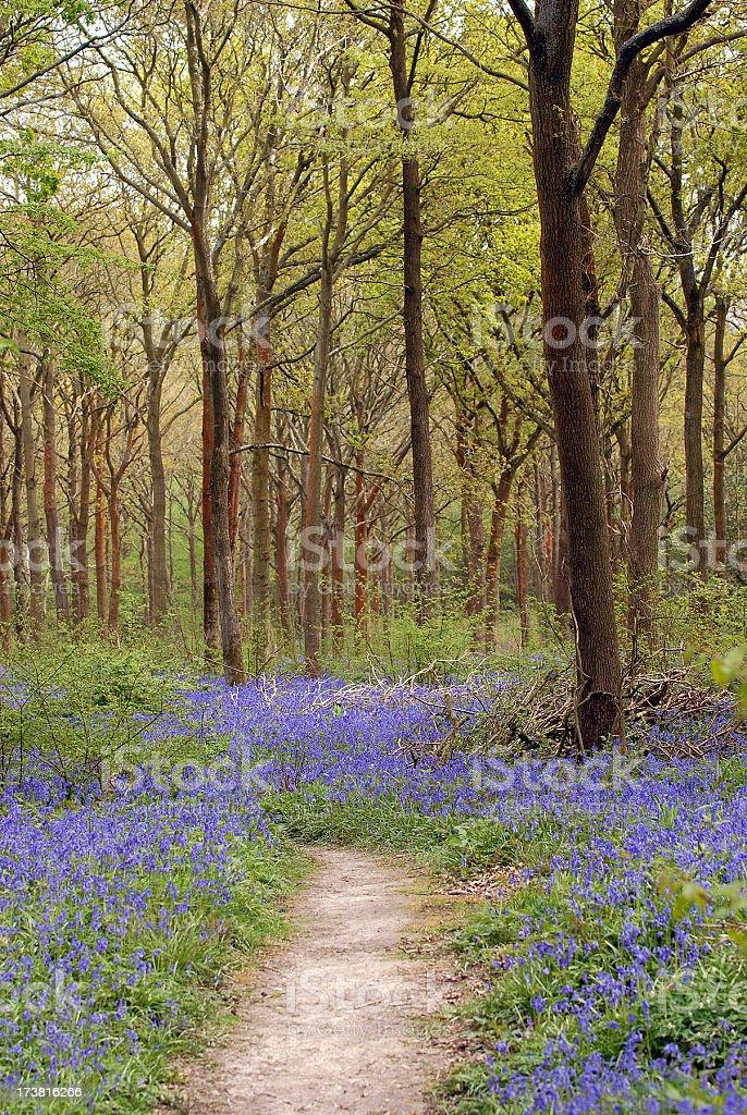Bluebell path stock photo