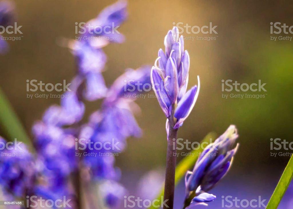 Bluebell stock photo