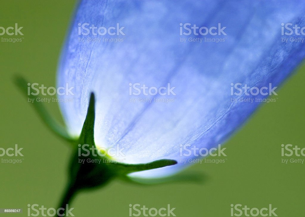 Bluebell stock photo
