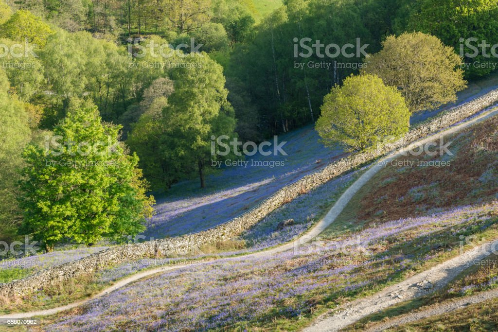 Bluebell Trail. stock photo