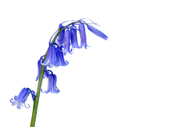 Bluebell wild flower Bluebell flower from the hyacinth family isolated on a white background bluebell stock pictures, royalty-free photos & images