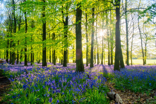 Bluebell Wood At Dawn stock photo