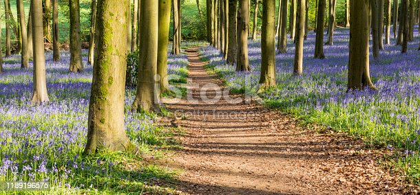 A view of an English Bluebell Wood in Bristol, Southern England.