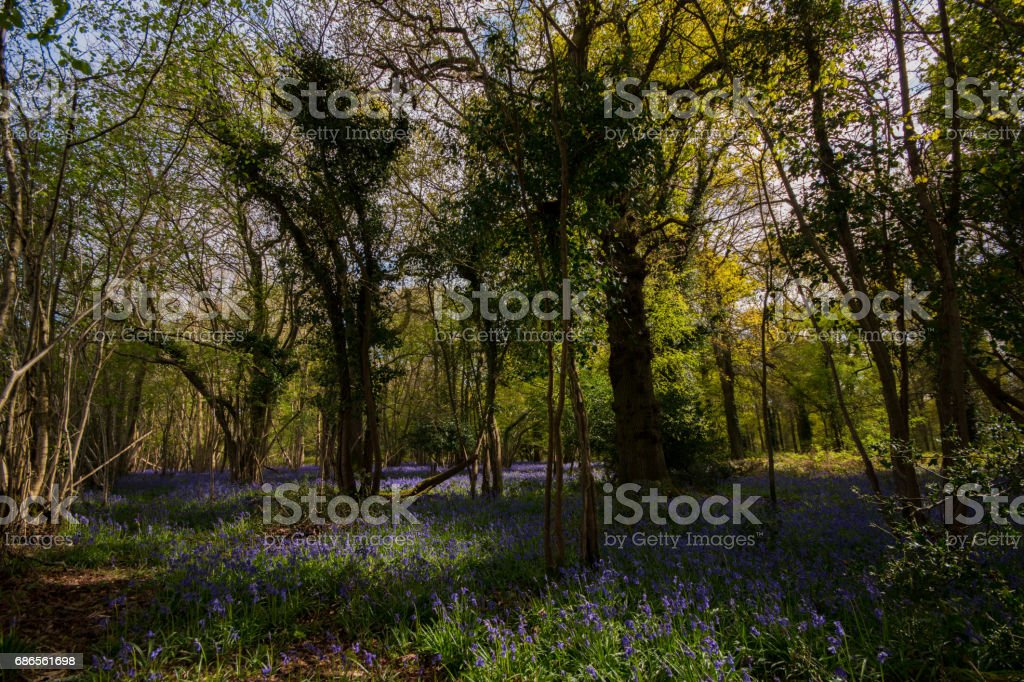 Bluebell wood in spring Hampshire UK England royalty-free stock photo