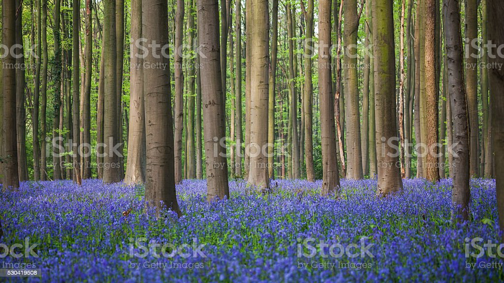 Bluebell wood of Hallerbos stock photo