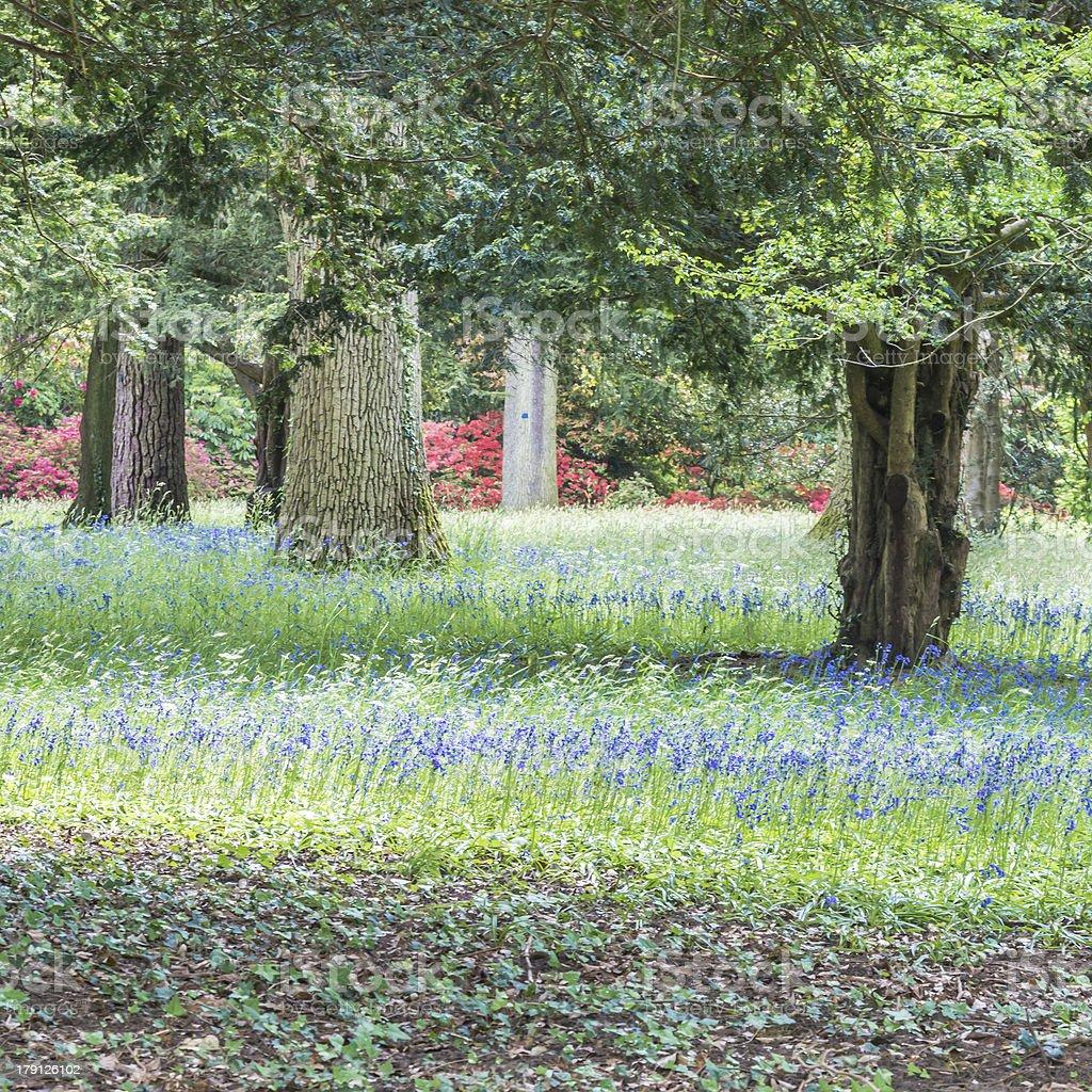 Bluebell Wood stock photo