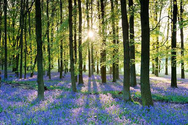 Bluebell wood Light breaking through the tress in a bluebell wood in England bluebell stock pictures, royalty-free photos & images