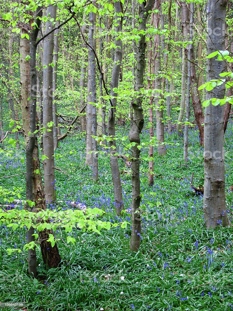 Bluebell woodland 1 royalty-free stock photo