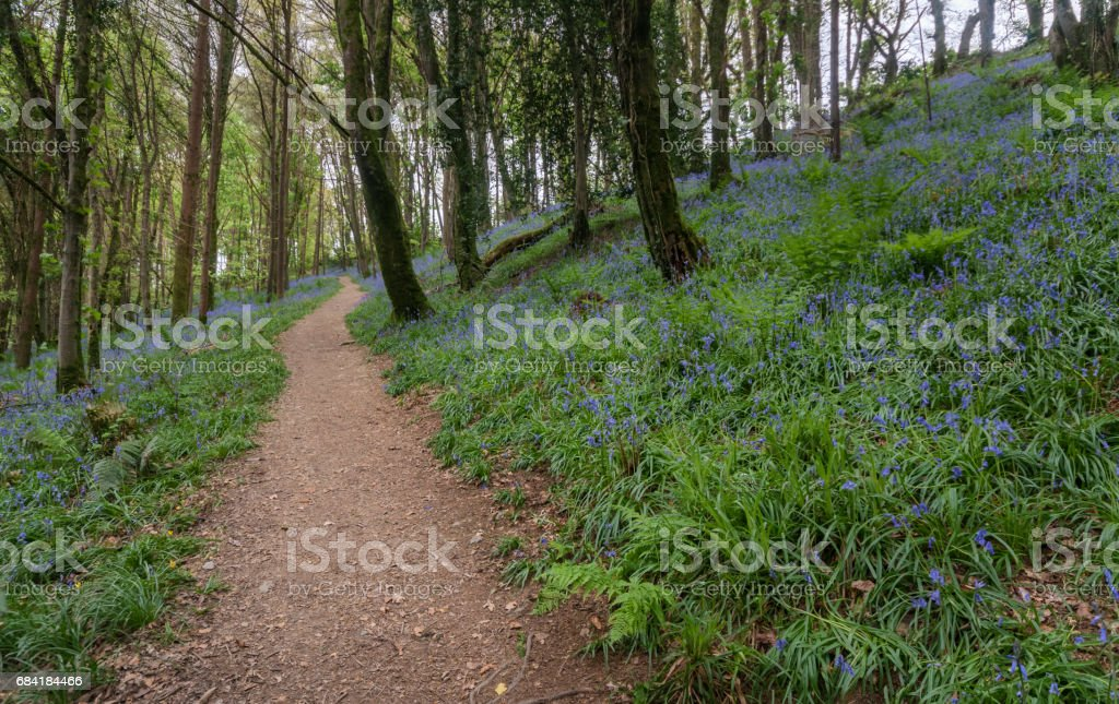 Bluebell woodland in spring royalty free stockfoto