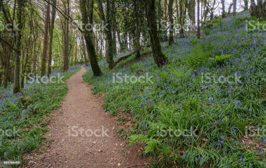 Bluebell woodland in spring royaltyfri bildbanksbilder
