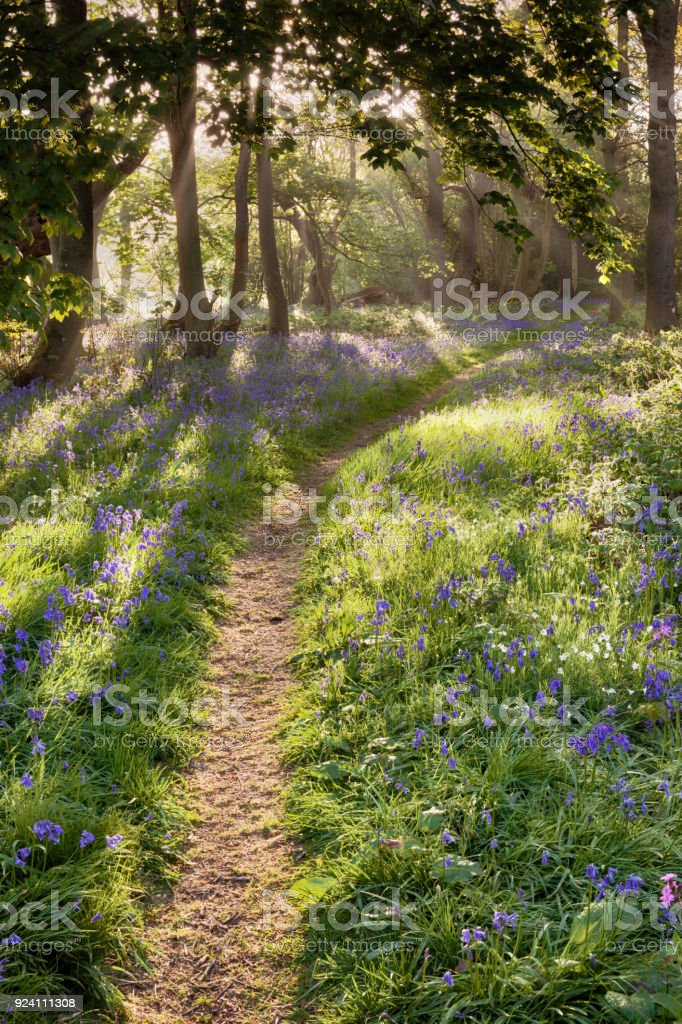 Bluebell woodland path with dreamy sunrise stock photo