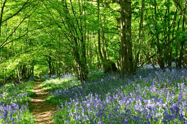 Bluebell woodland A carpet of bluebells in English coppiced woodland glade in rural Kent countryside bluebell stock pictures, royalty-free photos & images