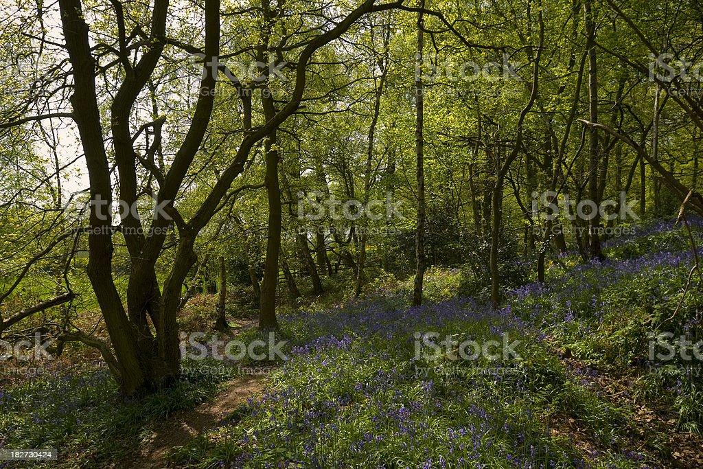Bluebell woodland royalty-free stock photo